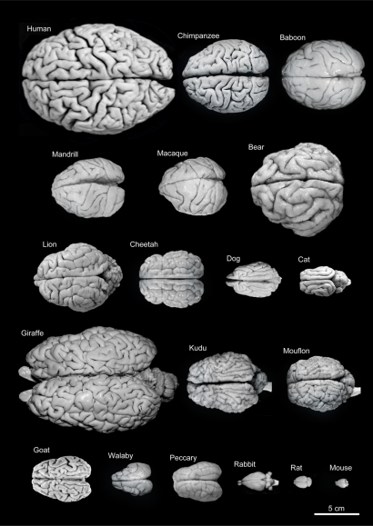 brains to scale